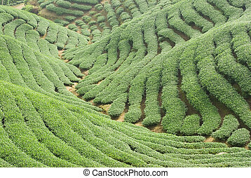 Tea trees on hill