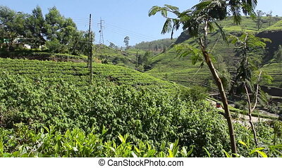 Tea valley. - Valley planted with tea.