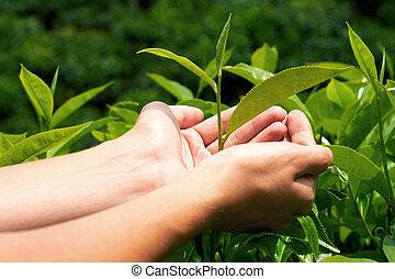 Tea - Young woman hand holding tea leaf