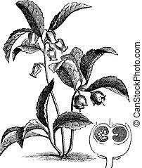 teaberry, gaultheria, oriental, procumbens, ou, gravura, vindima