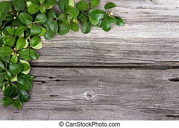 teaberry leaves on rustic background - Gaultheria procumbens...