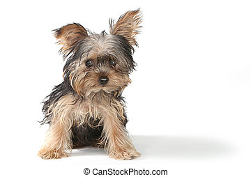 teacup, yorkshire terrier, op wit, achtergrond