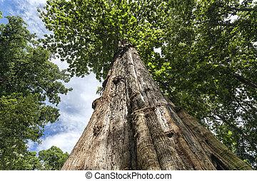 teak, arbre