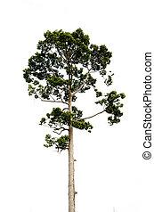 teak, arbre, isolé