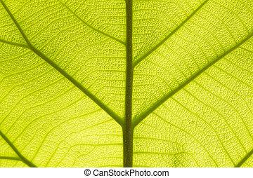 teak, feuille, vert, texture