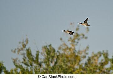 teals, green-winged, 上に, 飛行, 沼地, 対