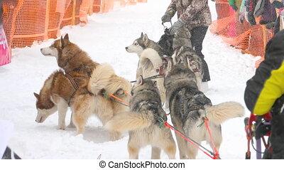 Team of husky sled dogs