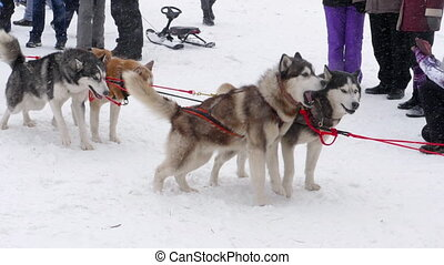 Team of husky sled dogs - Husky sled dogs before...