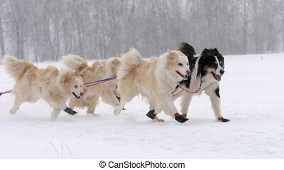 Team of husky sled dogs with dog-driver