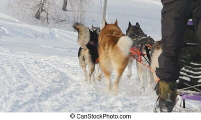 Team of husky sled dogs with dog-driver - Husky sled dogs...