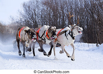 Team of rein-deers skims over the snow path. - North holiday...