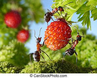team, van, mieren, bijeenkomst, aardbei, landbouw, teamwork