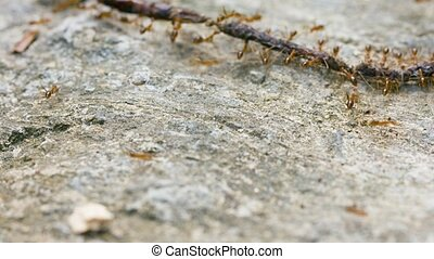 Teamwork of ants. Carrying the food. UltraHD 2160p 4k video