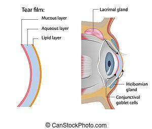 Tear film formation, eps10