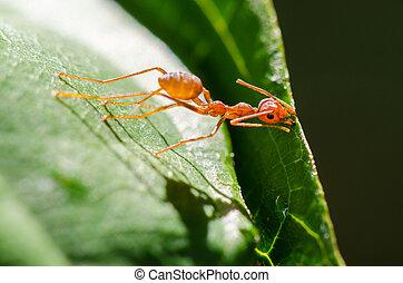 tecelão, formigas, ou, verde, formigas, (oecophylla, smaragdina)