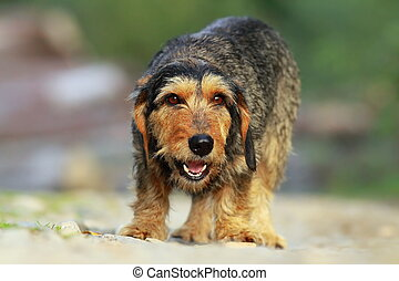 cute teckel dog coming towards the camera