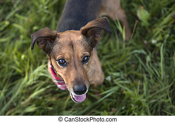 teckel, mélange, portrait, terrier