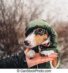 teckel, portrait, chien, rigolote, capuchon, dehors, porter, hiver