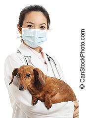 teckel, vétérinaire, chien, asiatique