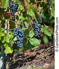 Ted Wine Grapes for Harvest - Red Wine Grapes for Harvest