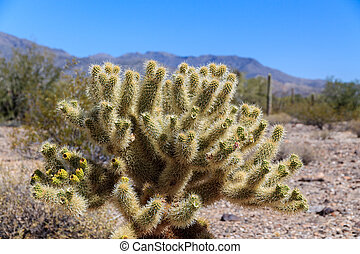 A Teddy Bear cholla cactus in the Sonoran desert near Wickenburg, Arizona. This, fragile-looking succulent is deceptively dangerous; the thin needles are covered with reverse barbs, making them difficult and painful to remove.