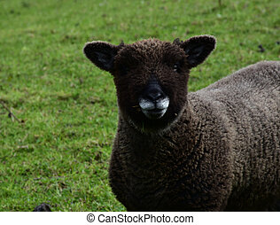 Teddy Bear Face on a Brown Sheep in a Field