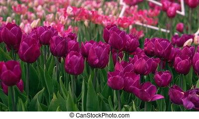 teder, kleuren, van, een, lente, tuin