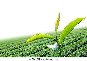 tee- blatt, grün