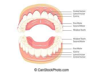 Teeth Anatomy - illustration of anatomy of teeth with...