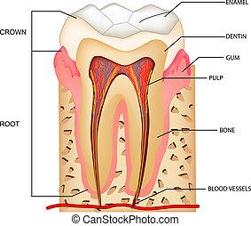 Teeth Anatomy - illustration of anatomy of teeth with ...