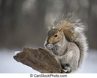 Teeth chattering squirrel