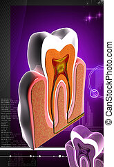 Teeth cross section - Digital illustration of teeth cross ...