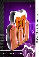 Teeth cross section - Digital illustration of teeth cross ...