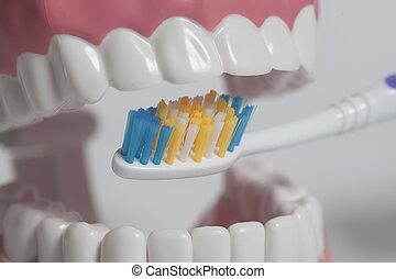 Teeth human model with color toothbrush.