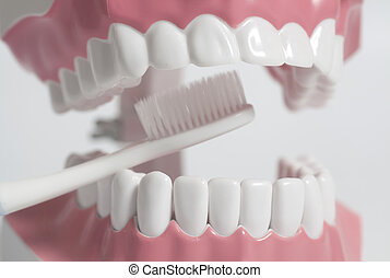 Teeth human model with white toothbrush.