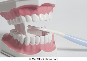 Teeth human model with white toothbrush. Dental care concept.