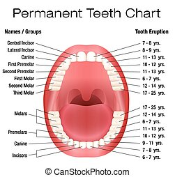 Teeth Names Permanent Adult Dentiti