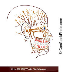 Teeth nerves. Detailed diagram.