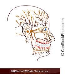 Teeth nerves. Detailed diagram.