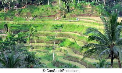 Tegalalang rice terrace, bali, indonesia
