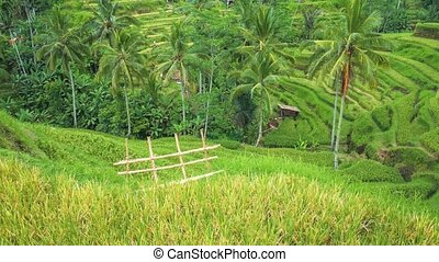 Tegalalang Rice Terrace. Pan footage over rice terrace and palm trees. Bali. Indonesia