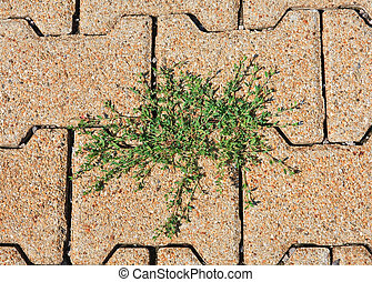tegole, knotweed, articolazione, attraverso, sprouted, strada