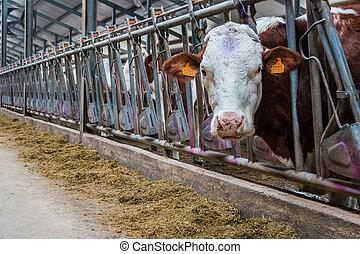 tehén, tanya, létrehoz