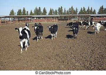 tehén, tanya, mezőgazdaság, buta, megfej