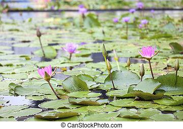 teich, mit, rosa, wasser- lilien