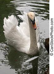 teich, weißer schwan