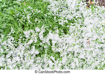 tejas, arugula, dallas, nieve, cosechas, o, lleno, cohete, ...