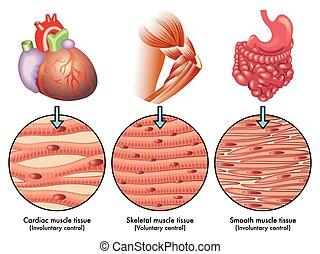 tejido de músculo