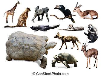teknősbéka, felett, elszigetelt, állatok, Más, afrikai, fehér
