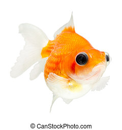 Telescope Pearlscale Goldfish